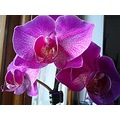 janos orchid window