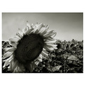 bw sunflower field light