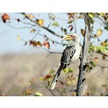 Southern Yellowbilled Hornbill