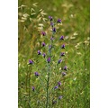 vipers bugloss cotiignac provence