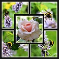 Bumble bee collage
