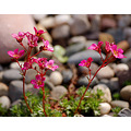 saxifrage flowers north yorkshire