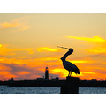Pelican yawn town crier fremantle sunset littleollie