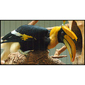 stlouis missouri us usa zoo animal bird Great Hornbill 2007