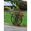 roses growing wheel driveway farm southland nz littleollie