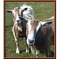 goats animals