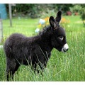 Foal Donkey Animal Ireland Pet donegal