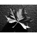 blackandwhite leaf nature trees plants shadows contrast texture fall autumn