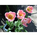 pink tulips striped garden