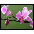 flower orchid pink nature