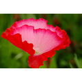 wild poppy wildflower Spring Texas colgdrew