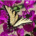 yellow butterfly skoenlaper purple swallowtail