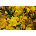 Wild Irish Gorse