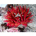 A very bright red Stubby Rose Anemone