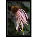 Echinacea flowers Yaddo gardens purple nature nyxphotography Saratoga Springs
