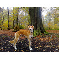 dog saluki autumn woods camphone