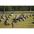 animals wildlife birds canadageese winnipeg canada fall autumn