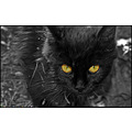 Devil Eye Cat Blak White