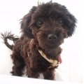 oreo my toy poodle