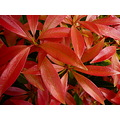 pieris forestflame