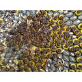 sunflower sunflowers floral seeds pattern patterns repetition yellow grey brown