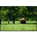 stlouis missouri us usa animal bison buffalo park grants 2007