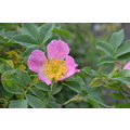 Peak District Derbyshire Dog Rose