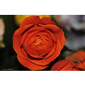 stlouis missouri us usa plant flower rose compftorange 2007