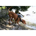 animal dog hungarianVizsla Vizsla Alvaro firstcontactwithwater