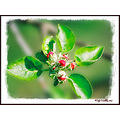 Buds Apple_Blossum Laughtacallow Kerry Ireland Peter_OSullivan