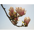 white light blue sky magnolia sweden