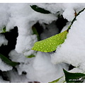 leaf snow droplet flower