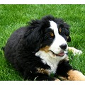 france fontainebleau animal dog bernese franx fontx animx dogx cenna