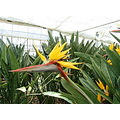 bird of paradise in the park of south Chiba Japan