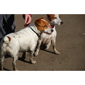 Jack Russell Terrier Belle Sally JRT brownhead mud happy park
