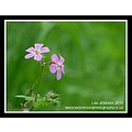 Nature Flowers Herb Robert Spideyj