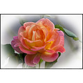 Rose Flower Plant Condessadesastago Macro Tamron180mm aloha oregon