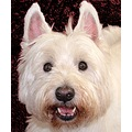 Dog West Highland Terrier