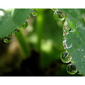 reflectionthursday alchemilla drop macro rain