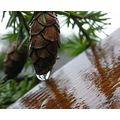reflectionthursday hemlock water drop