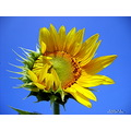 macro flower nature sunflower thailand poulets 2007