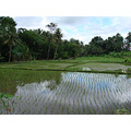 reflectionthursday rice paddies ubud bali littleollie