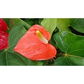 flower anthurium
