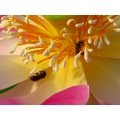 flower waterlily bees mavik