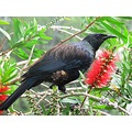 This Tui has been chasing all the other birds out of our bottle brush tree.  We finally figured o...