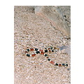 Arizona Coralsnake