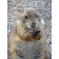 Prarie Dog eating an MIke & Ike candy that I dropped on the ground LOL... at the the Wichita Moun...
