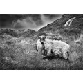 stephen mc cool strabane sheep field black and white