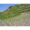 vineyards mosel mosela germany