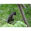 redtail black parrot fruit feed food garden trees mess birds perth littleollie